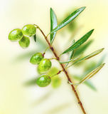 Fresh green olive tree branch Royalty Free Stock Photos
