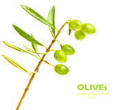 Fresh green olives branch Royalty Free Stock Photo