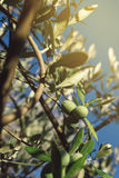 Fresh green olives fruit on olive tree branch Royalty Free Stock Photos