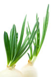 Fresh green onion. Two fresh green onions isolated on white background stock images