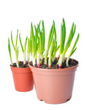 Fresh green onion different size  in a pot. Royalty Free Stock Photography