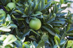 Fresh green orange on tree. Orange garden grove in the sun stock photography