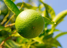 Fresh green orange on tree Royalty Free Stock Image