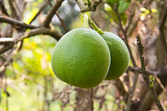 Fresh green oranges Stock Image