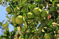 Fresh green oranges on the tree Stock Photography