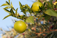 Fresh green oranges on tree. Royalty Free Stock Images