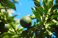 Fresh green oranges on tree Royalty Free Stock Photo