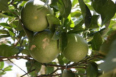 Fresh green oranges on tree Royalty Free Stock Photos