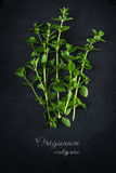 Fresh green oregano from above on a dark slate plate, sample tex Stock Images