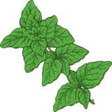Fresh Green Oregano Royalty Free Stock Photo