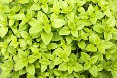 Leaves on whole surface. Fresh green oregano leaves on whole surface Stock Images