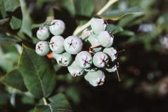 Fresh Green Organic Blueberries on the bush. Close up Stock Photo