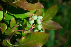 Fresh Green Organic Blueberries on the bush. close up.  royalty free stock photos