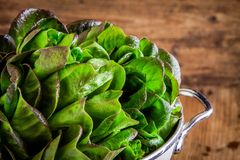 Fresh green organic lettuce in a colander closeup Royalty Free Stock Images