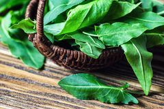 Fresh green organic sorrel leaves in wooden basket. Common sorrel or garden sorrel Rumex acetosa on wooden background. Other nam. Es: spinach dock and narrow royalty free stock images