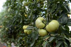 Fresh green organic tomato plant and fruit Royalty Free Stock Photos