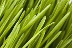 Fresh Green Organic Wheat Grass Stock Photos