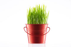 Fresh Green Organic Wheat Grass in a pot Stock Images