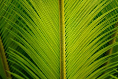 Fresh green palm leaf tropical nature, soft focus Stock Image