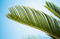Fresh green palm leaves Royalty Free Stock Images