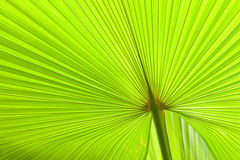 Fresh and green palm leaves Stock Photography