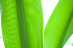 Fresh and green palm leaves Royalty Free Stock Photo