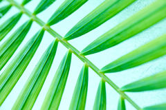 Fresh and green palm leaves Royalty Free Stock Images
