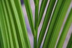 Fresh green palm leaves Royalty Free Stock Photos