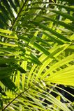 Fresh green palm leaves. In nature garden Stock Photo