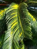 Fresh green palm leaves Stock Photo