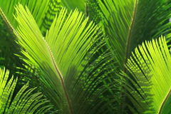 Fresh green palm leaves Stock Images