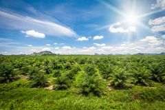 Fresh green palm oil farm plantation. Agriculture Royalty Free Stock Photo