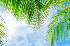 Fresh green palm tree foliage Royalty Free Stock Photography
