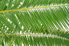 Fresh green palm tree leaf Royalty Free Stock Photos