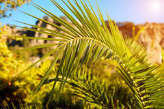 Fresh green palm tree leaf Royalty Free Stock Images