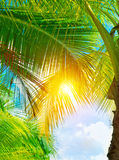 Fresh green palm tree Stock Photography