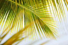 Fresh green palm tree leaves Royalty Free Stock Photo