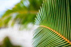 Fresh green palm tree leaves Royalty Free Stock Photos