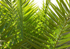 Fresh green palm tree leaves Stock Images