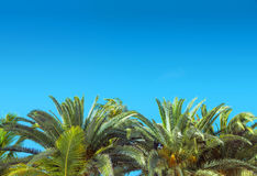 Fresh, green palm tree over the clear sky Royalty Free Stock Photography
