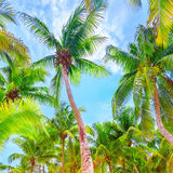 Fresh green palm trees background Royalty Free Stock Photos