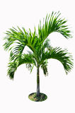 Fresh green palm Royalty Free Stock Image