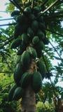 Fresh papaya stock images