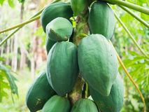 Fresh green papaya on tree Royalty Free Stock Photos
