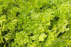 Fresh green parsley Royalty Free Stock Images