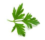 Fresh green parsley Stock Image