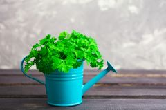 Fresh green parsley. With copy space Stock Photo