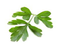 Fresh green parsley. On white background Stock Photography