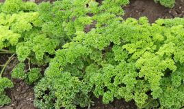 Fresh Green Parsley. Royalty Free Stock Photography