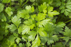 Fresh green parsley growing in the vegetable garden Stock Images
